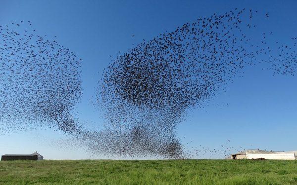 Swarming / Flocking behaviour by a starling swarm
